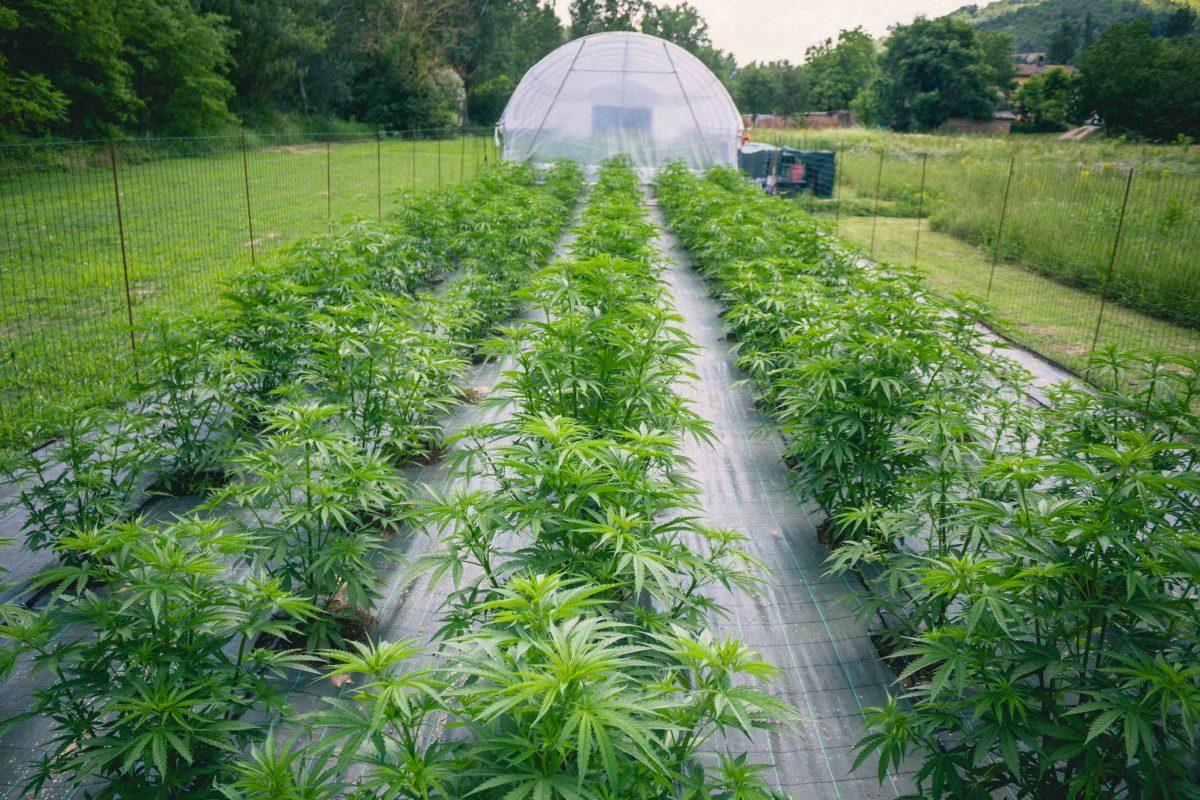 Cannabis Light Autofiorente Come Coltivarla
