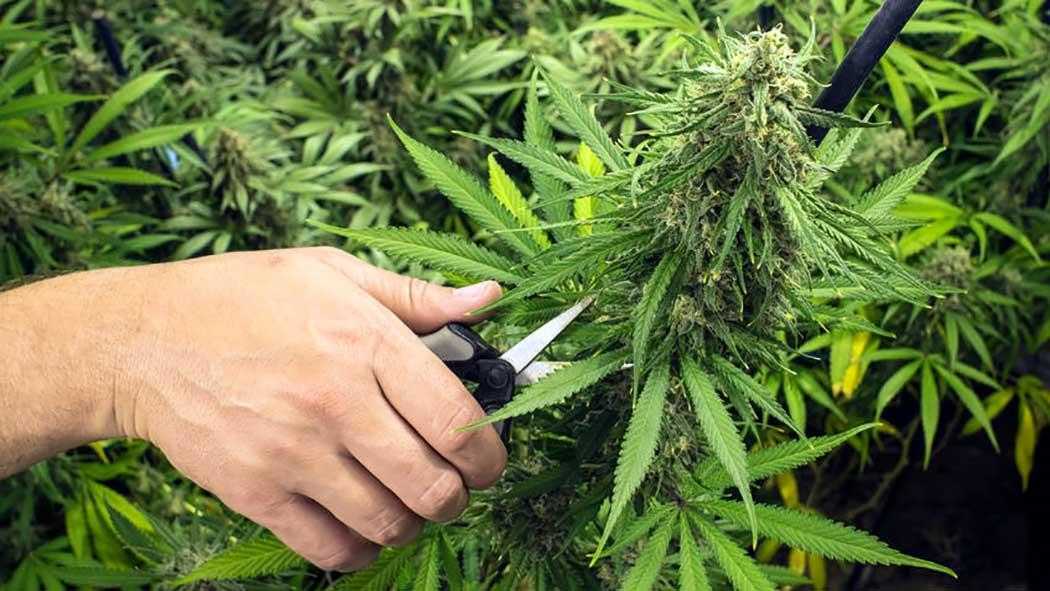 Quando Raccogliere Cannabis Segnali Momento Migliore