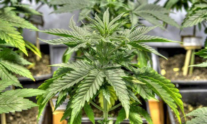 Cosa Poliploidizzazione Cannabis Futuro Selezione Genetica