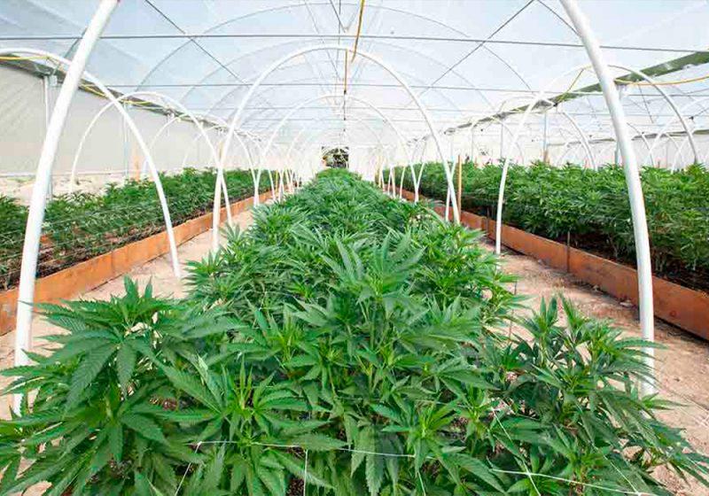 Come-Coltivare-Cannabis-Biologica-Vegana-Guida