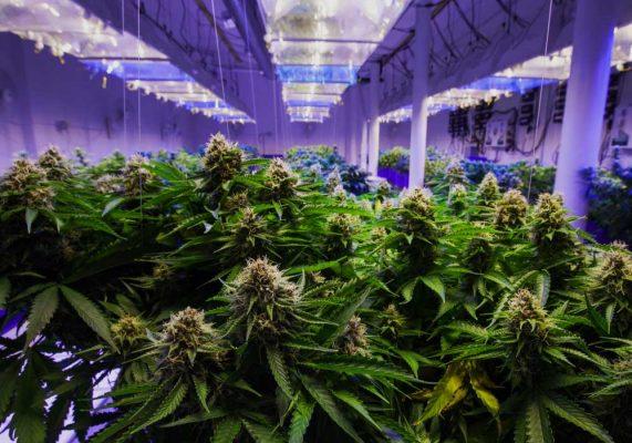 co2-coltivare-cannabis-pro-contro